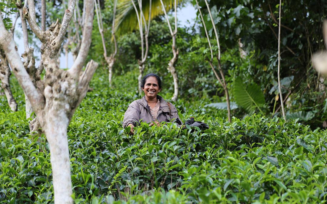Gesunde Mischkulturen beim Tee-Anbau von English Tea Shop